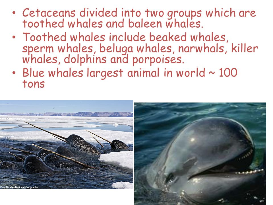 Cetaceans divided into two groups which are toothed whales and baleen whales. Toothed whales include beaked whales, sperm whales, beluga whales, narwh