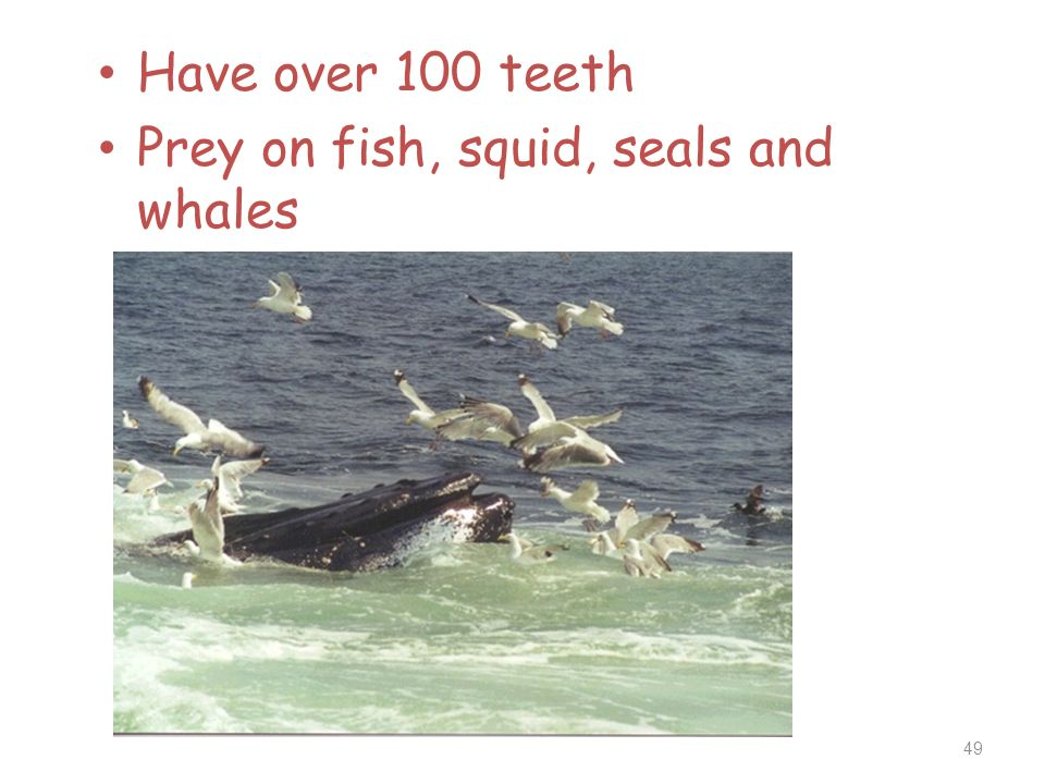 Have over 100 teeth Prey on fish, squid, seals and whales 49
