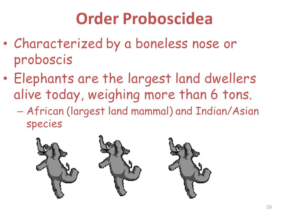 Order Proboscidea Characterized by a boneless nose or proboscis Elephants are the largest land dwellers alive today, weighing more than 6 tons. – Afri