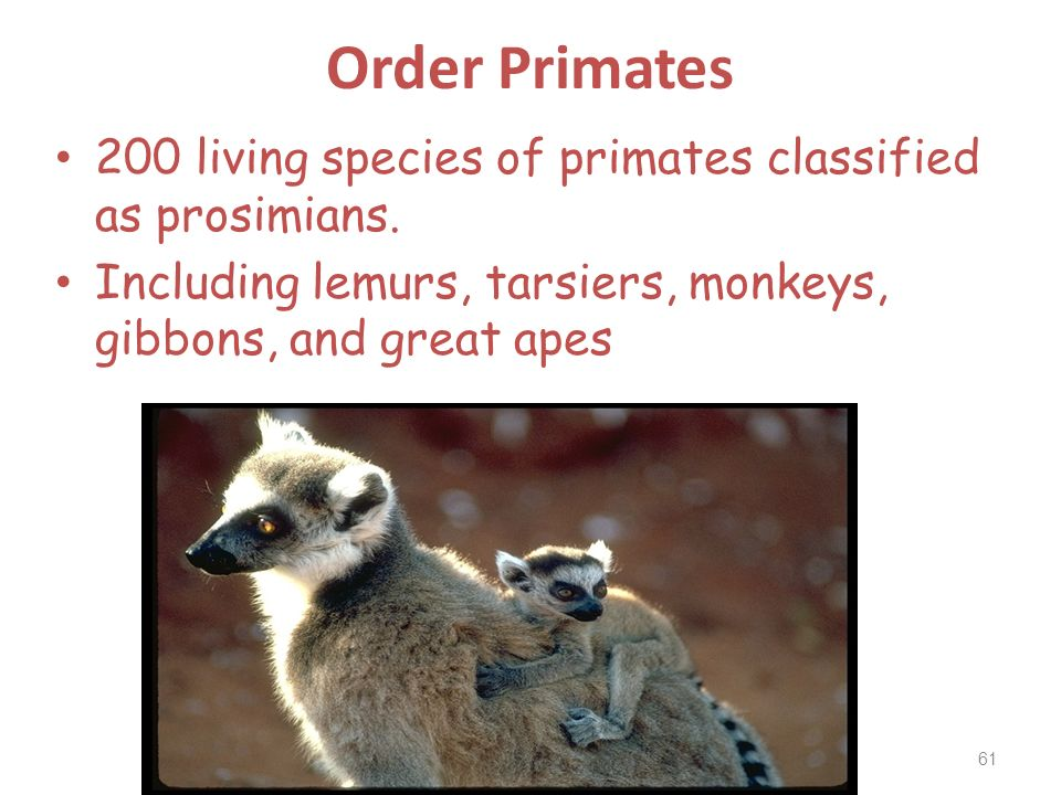 Order Primates 200 living species of primates classified as prosimians. Including lemurs, tarsiers, monkeys, gibbons, and great apes 61