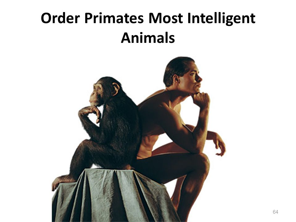 Order Primates Most Intelligent Animals 64