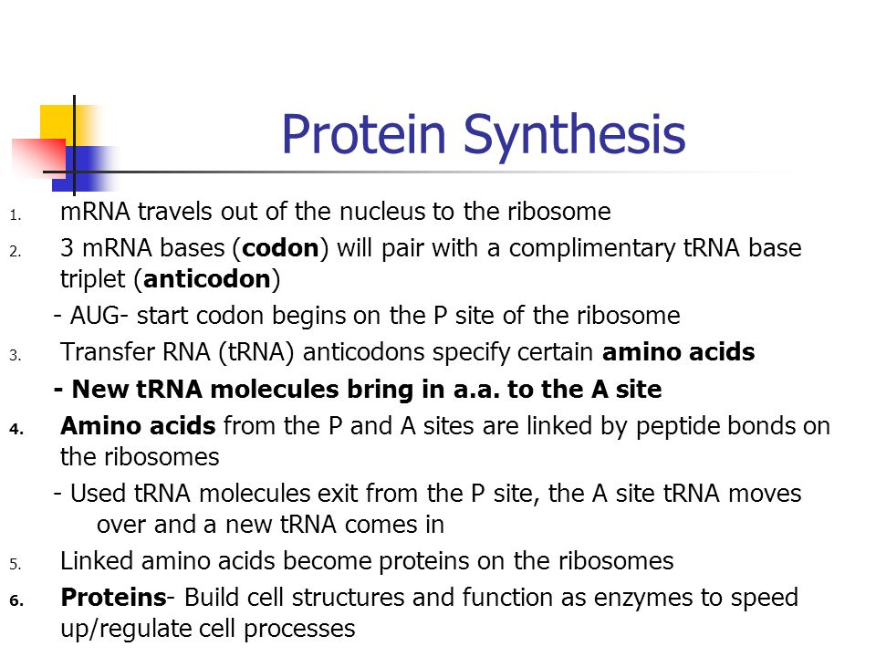 Protein Synthesis 1. mRNA travels out of the nucleus to the ribosome 2. 3 mRNA bases (codon) will pair with a complimentary tRNA base triplet (anticod