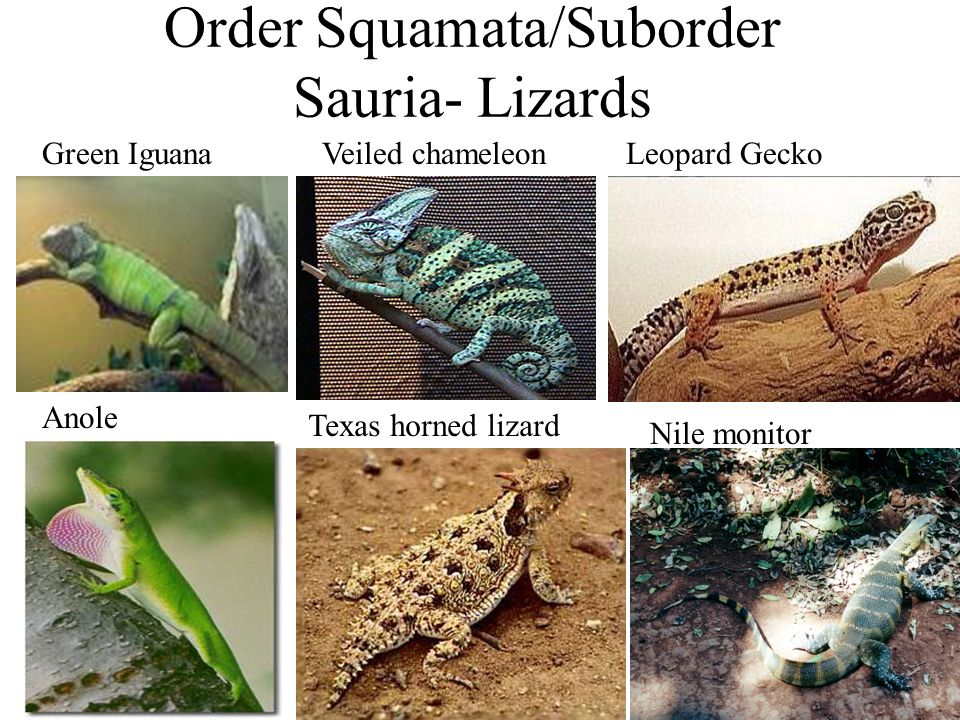 Order Squamata/Suborder Sauria- Lizards Green IguanaVeiled chameleonLeopard Gecko Anole Texas horned lizard Nile monitor