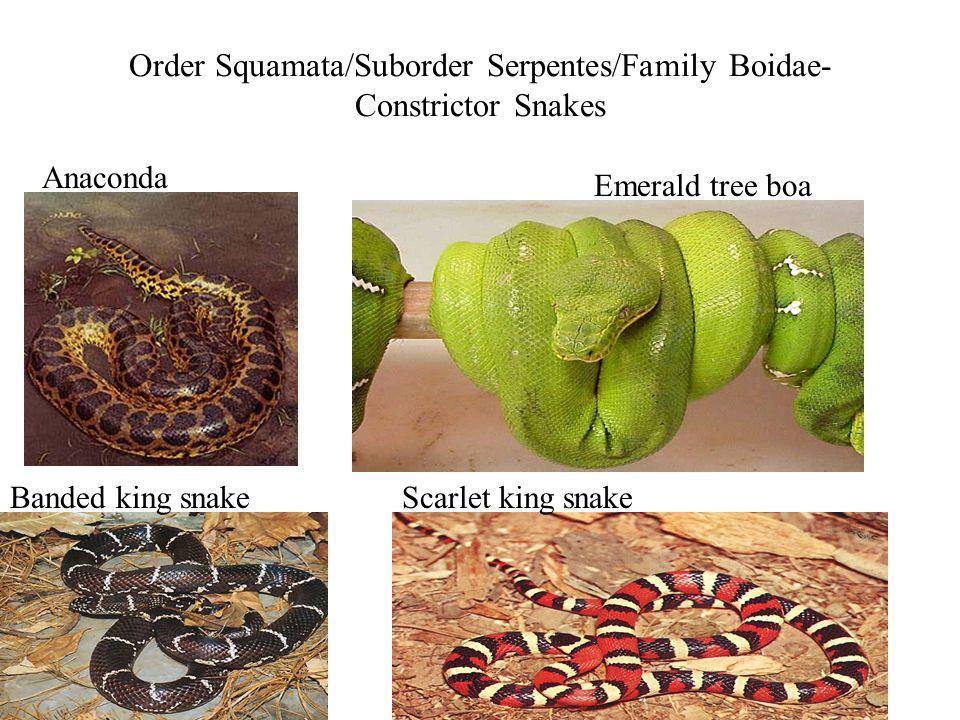 Order Squamata/Suborder Serpentes/Family Boidae- Constrictor Snakes Anaconda Emerald tree boa Banded king snakeScarlet king snake