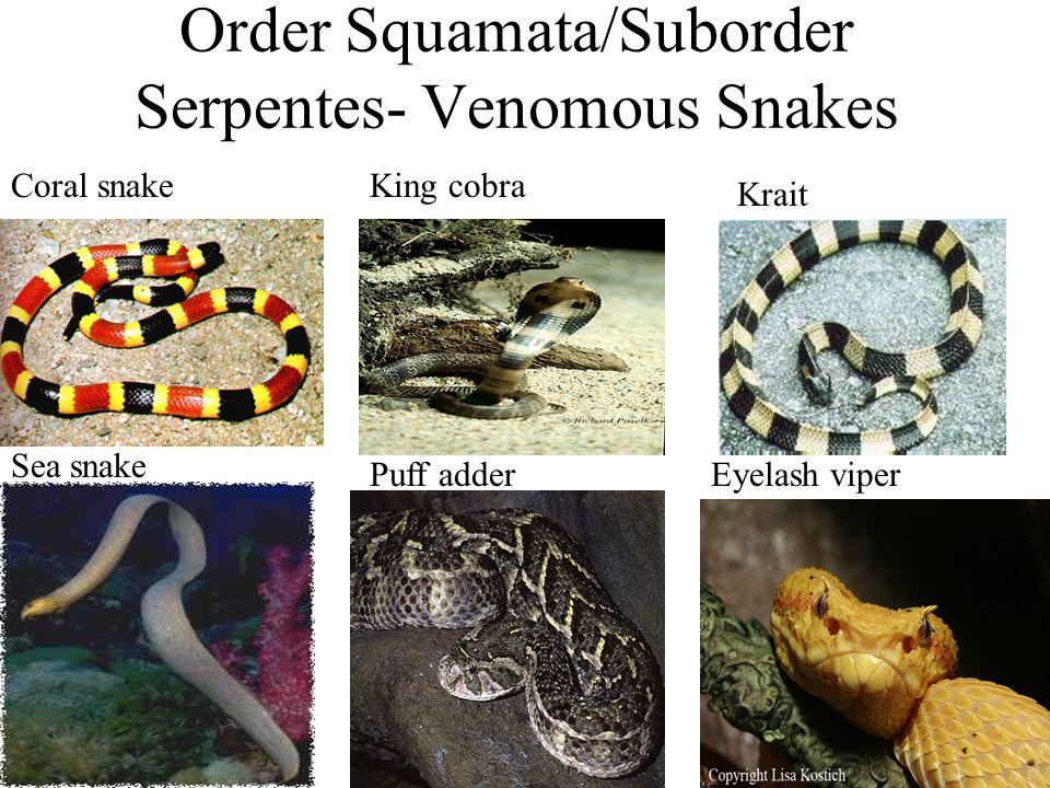 Order Squamata/Suborder Serpentes- Venomous Snakes Coral snakeKing cobra Krait Sea snake Puff adderEyelash viper
