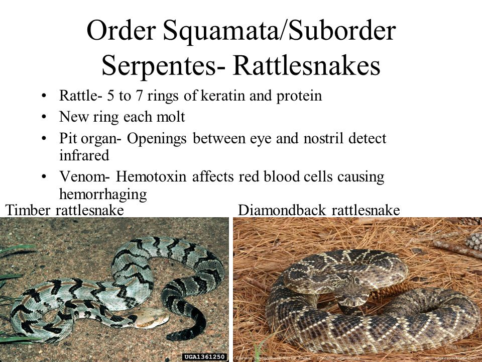 Order Squamata/Suborder Serpentes- Rattlesnakes Rattle- 5 to 7 rings of keratin and protein New ring each molt Pit organ- Openings between eye and nos