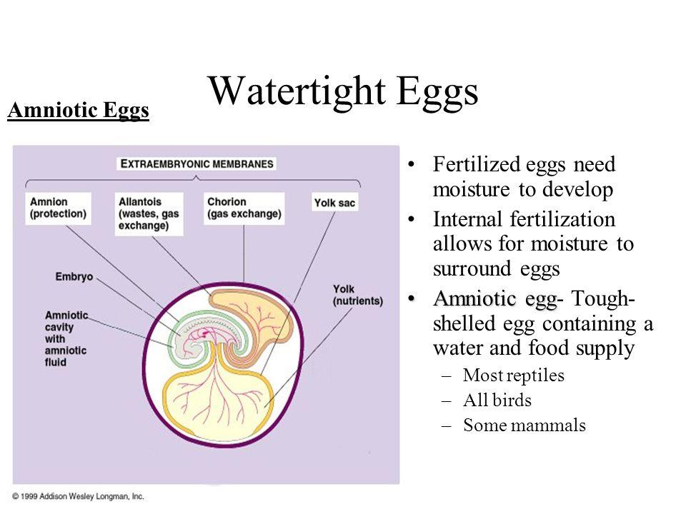 Watertight Eggs Fertilized eggs need moisture to develop Internal fertilization allows for moisture to surround eggs Amniotic eggAmniotic egg- Tough-