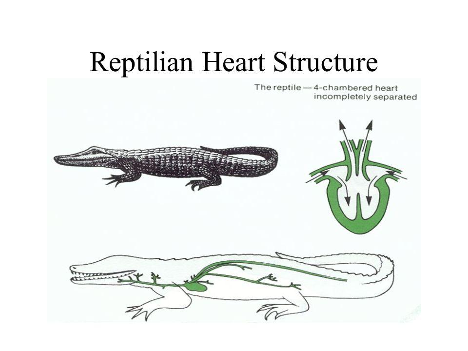 Reptilian Heart Structure