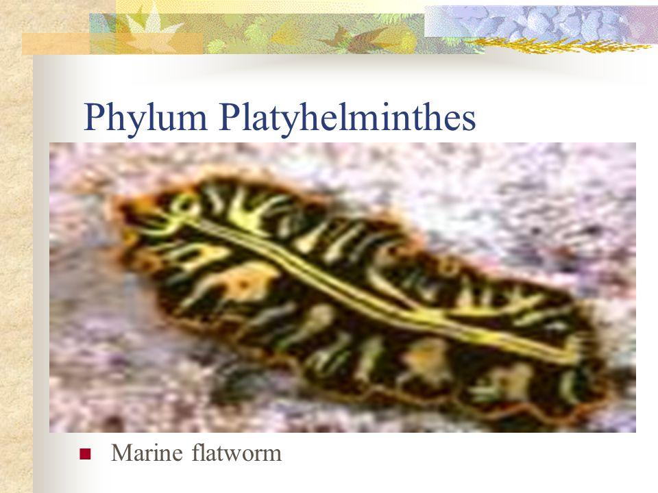 Phylum Platyhelminthes Marine flatworm