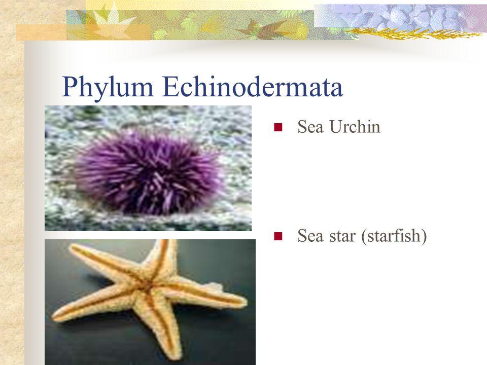 Phylum Echinodermata Sea Urchin Sea star (starfish)