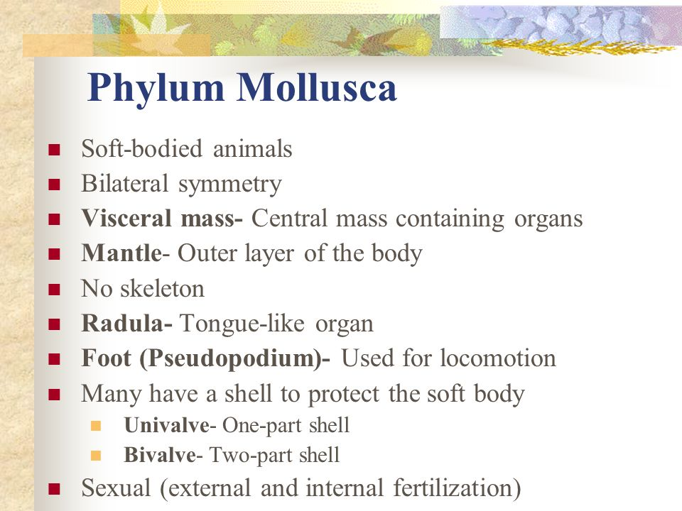 Phylum Mollusca Soft-bodied animals Bilateral symmetry Visceral mass- Central mass containing organs Mantle- Outer layer of the body No skeleton Radul