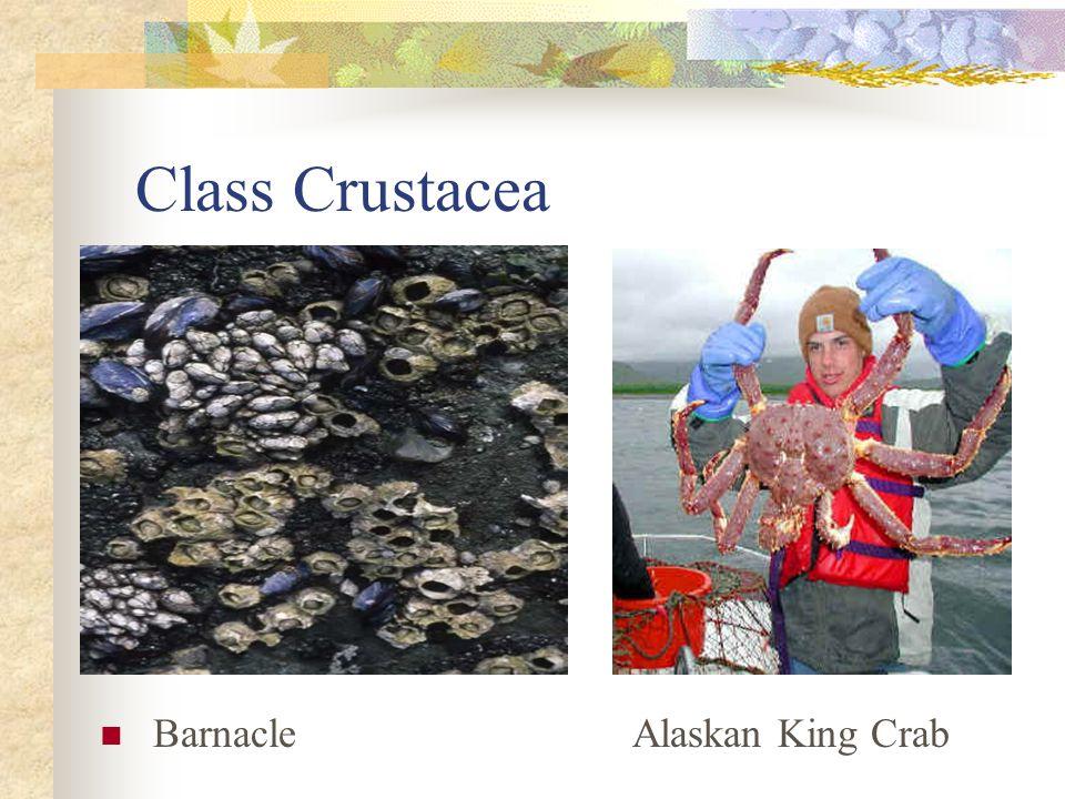Class Crustacea BarnacleAlaskan King Crab