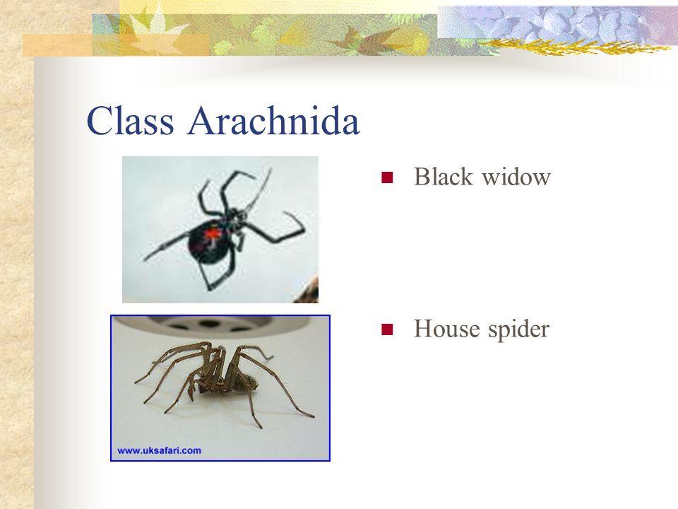 Class Arachnida Black widow House spider