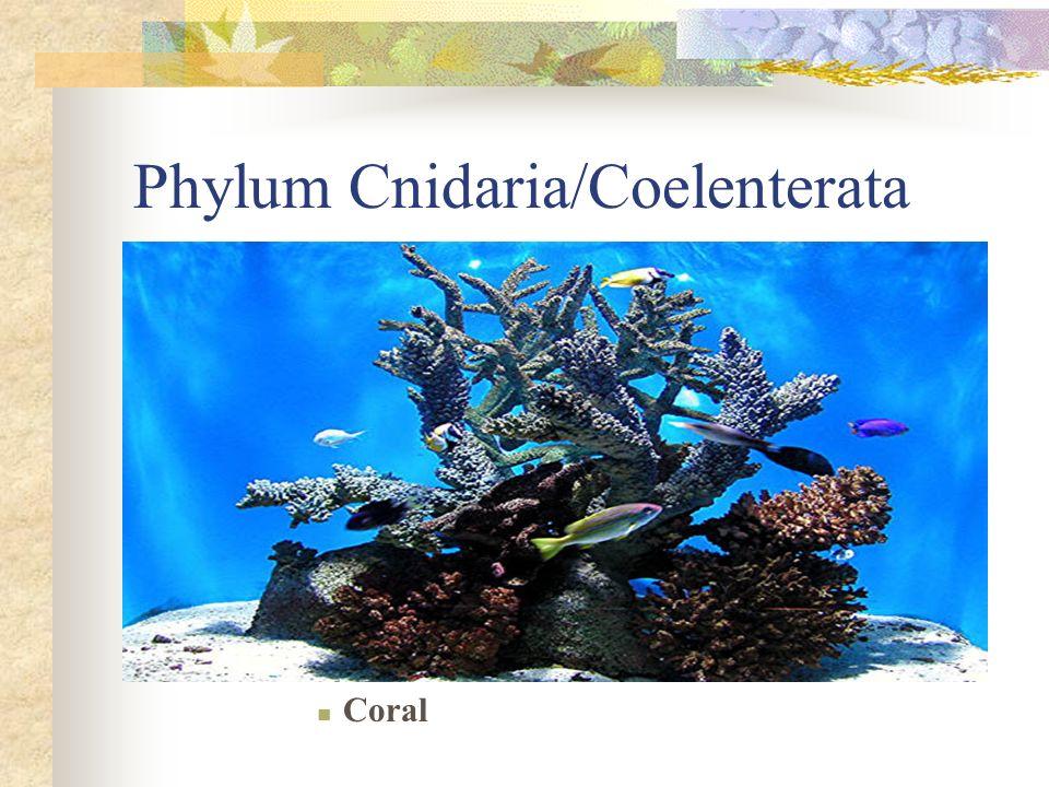 Phylum Cnidaria/Coelenterata Coral