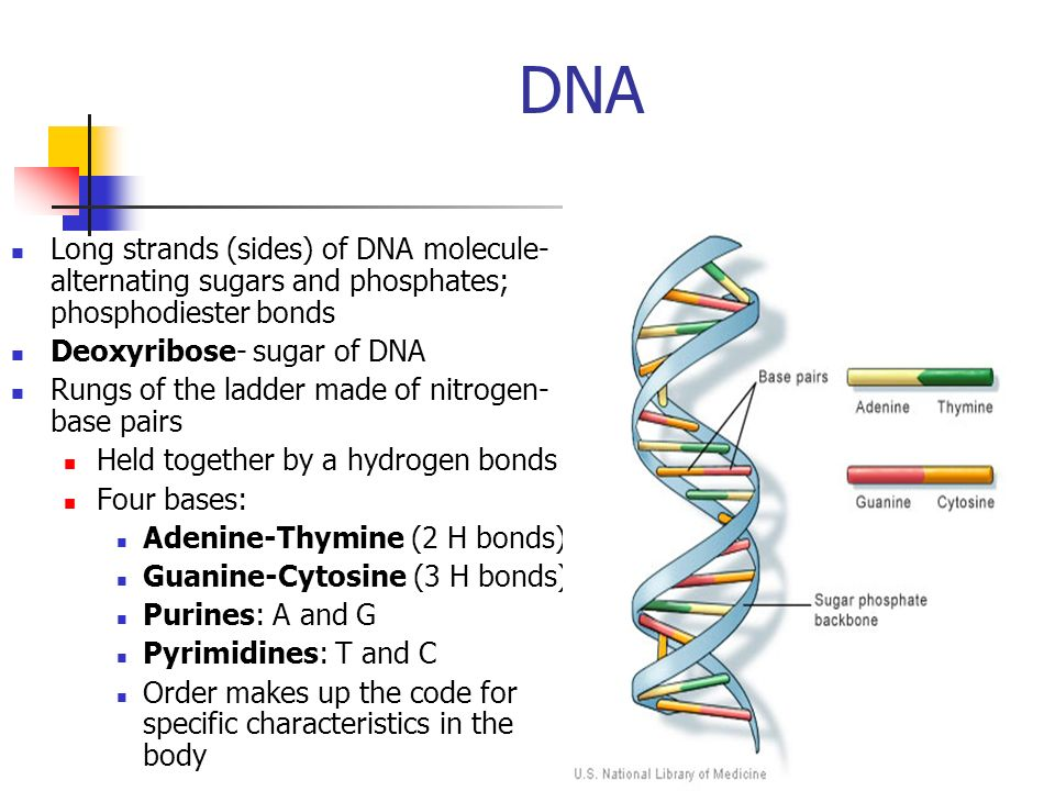 DNA Long strands (sides) of DNA molecule- alternating sugars and phosphates; phosphodiester bonds Deoxyribose- sugar of DNA Rungs of the ladder made o
