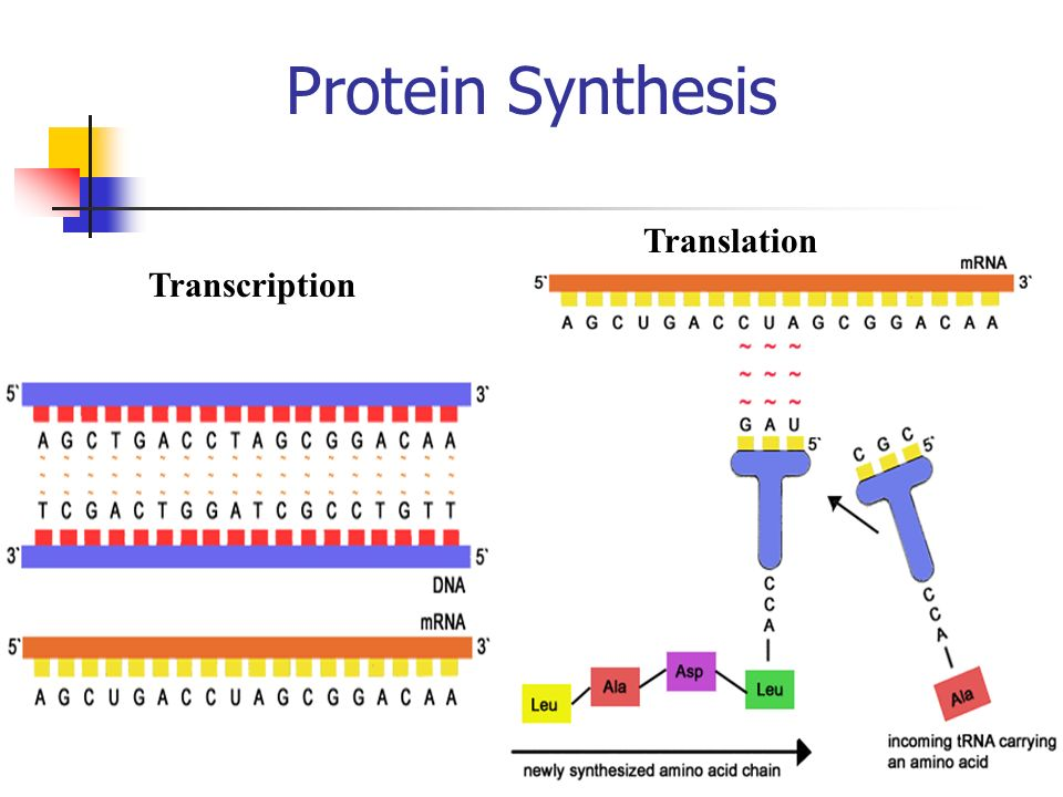 Protein Synthesis Transcription Translation