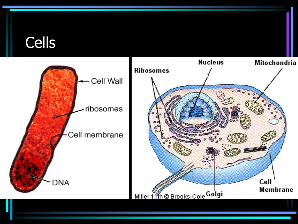 Organelles- Structures found within or on a cell which contain specific functions Nucleus- Control Center –Controls all intracellular activity –Contains DNA (genetic material, hereditary information, chromosomes, chromatin) –Nucleolus- Center of nucleus where transcription occurs –Nuclear membrane (envelope)- Outer covering of a nucleus which controls materials passage into and out of cell
