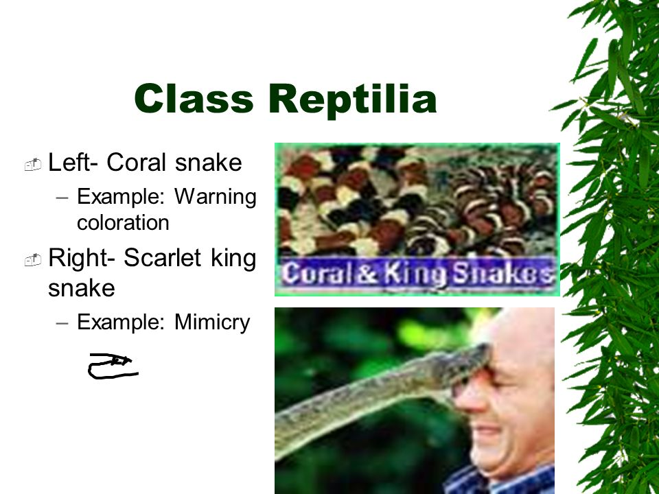 Class Reptilia Left- Coral snake –Example: Warning coloration Right- Scarlet king snake –Example: Mimicry