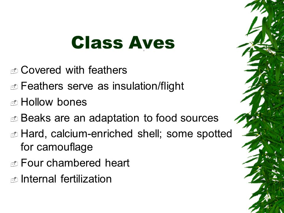 Class Aves Covered with feathers Feathers serve as insulation/flight Hollow bones Beaks are an adaptation to food sources Hard, calcium-enriched shell