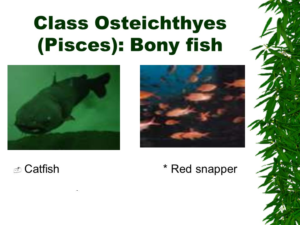 Class Osteichthyes (Pisces): Bony fish Catfish* Red snapper