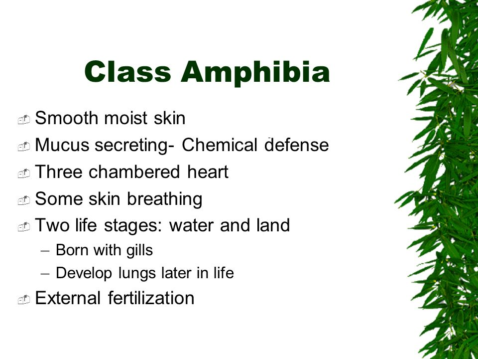Class Amphibia Smooth moist skin Mucus secreting- Chemical defense Three chambered heart Some skin breathing Two life stages: water and land –Born wit