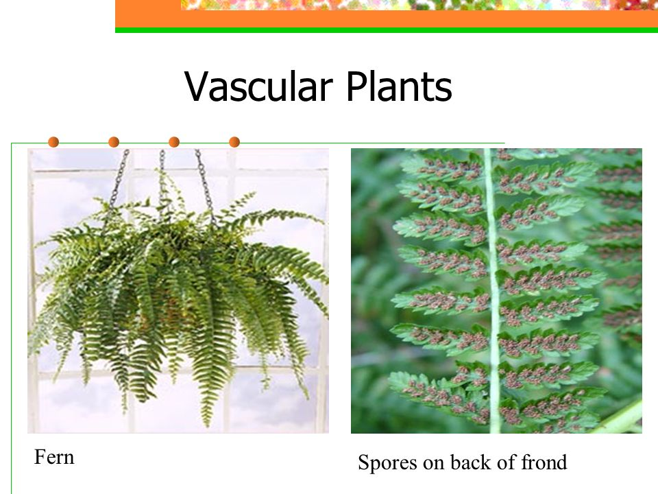 Vascular Plants Fern Spores on back of frond