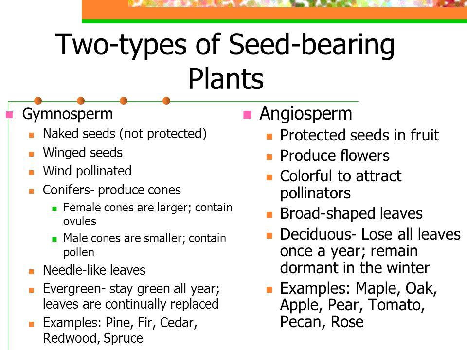 Two-types of Seed-bearing Plants Gymnosperm Naked seeds (not protected) Winged seeds Wind pollinated Conifers- produce cones Female cones are larger; contain ovules Male cones are smaller; contain pollen Needle-like leaves Evergreen- stay green all year; leaves are continually replaced Examples: Pine, Fir, Cedar, Redwood, Spruce Angiosperm Protected seeds in fruit Produce flowers Colorful to attract pollinators Broad-shaped leaves Deciduous- Lose all leaves once a year; remain dormant in the winter Examples: Maple, Oak, Apple, Pear, Tomato, Pecan, Rose