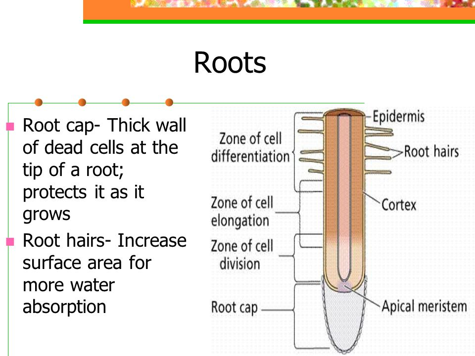 Roots Root cap- Thick wall of dead cells at the tip of a root; protects it as it grows Root hairs- Increase surface area for more water absorption