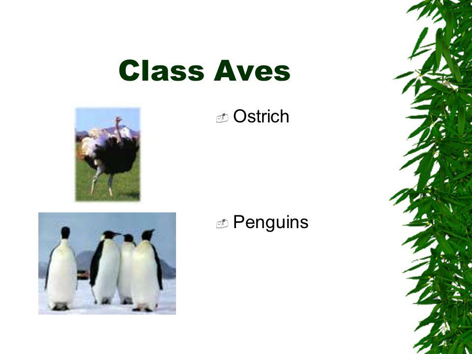 Class Aves Ostrich Penguins