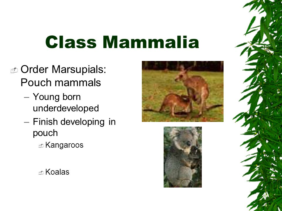 Class Mammalia Order Marsupials: Pouch mammals –Young born underdeveloped –Finish developing in pouch Kangaroos Koalas