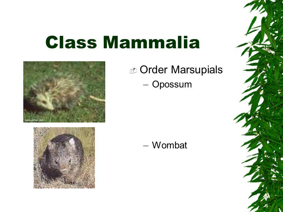 Class Mammalia Order Marsupials –Opossum –Wombat
