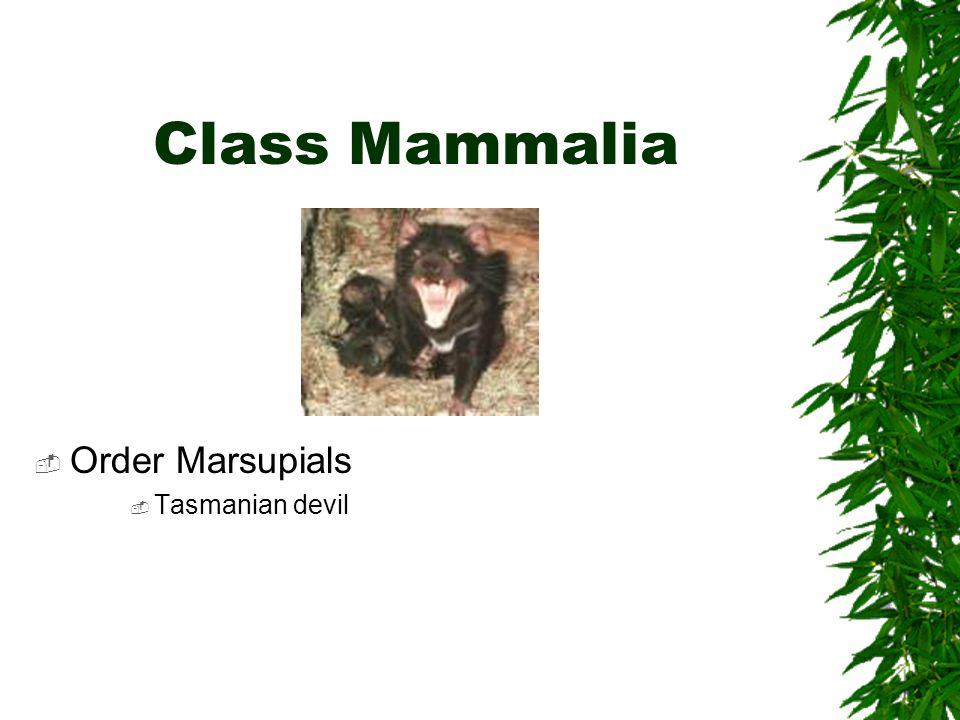 Class Mammalia Order Marsupials Tasmanian devil