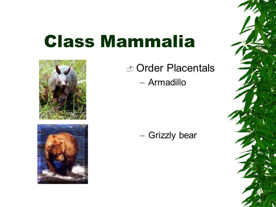 Class Mammalia Order Placentals –Armadillo –Grizzly bear