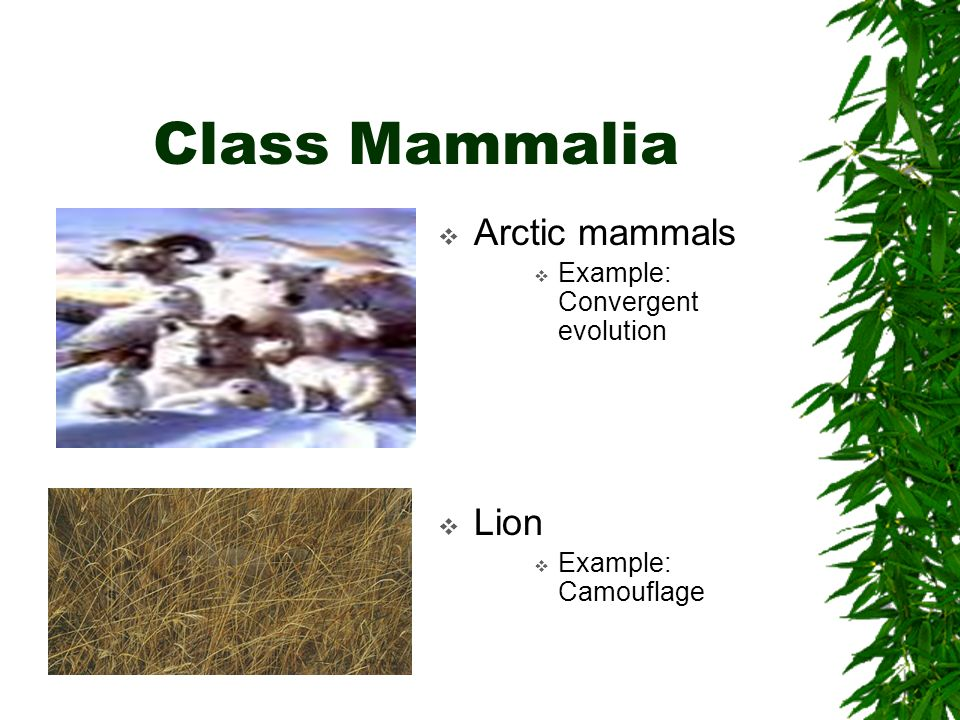Class Mammalia Arctic mammals Example: Convergent evolution Lion Example: Camouflage