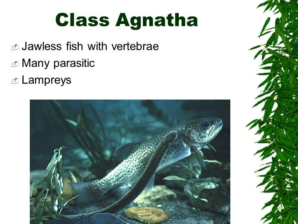 Class Agnatha Jawless fish with vertebrae Many parasitic Lampreys