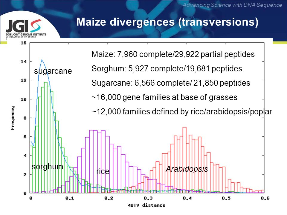 Advancing Science with DNA Sequence Maize divergences (transversions) rice Arabidopsis sugarcane sorghum Maize: 7,960 complete/29,922 partial peptides Sorghum: 5,927 complete/19,681 peptides Sugarcane: 6,566 complete/ 21,850 peptides ~16,000 gene families at base of grasses ~12,000 families defined by rice/arabidopsis/poplar