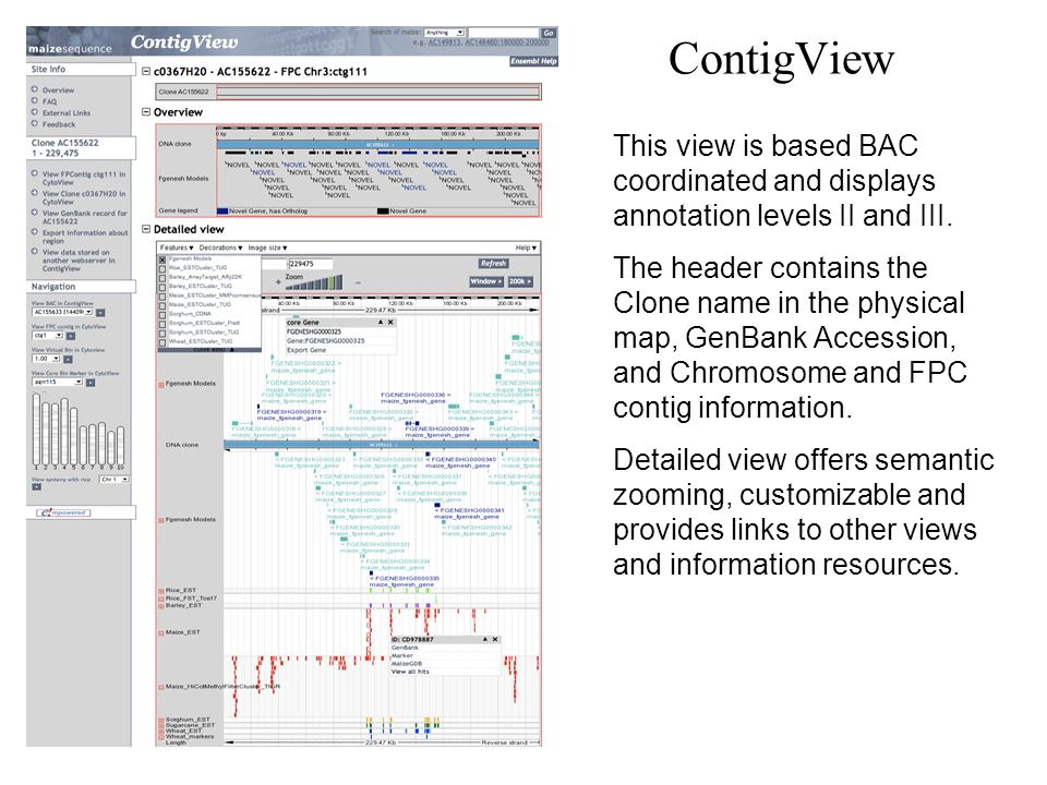 ContigView This view is based BAC coordinated and displays annotation levels II and III. The header contains the Clone name in the physical map, GenBa