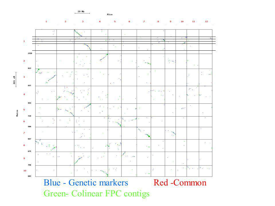 Blue - Genetic markersRed -Common Green- Colinear FPC contigs