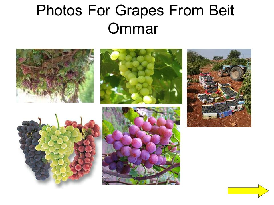 Photos For Grapes From Beit Ommar