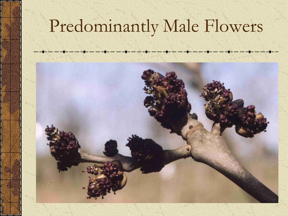 Predominantly Male Flowers