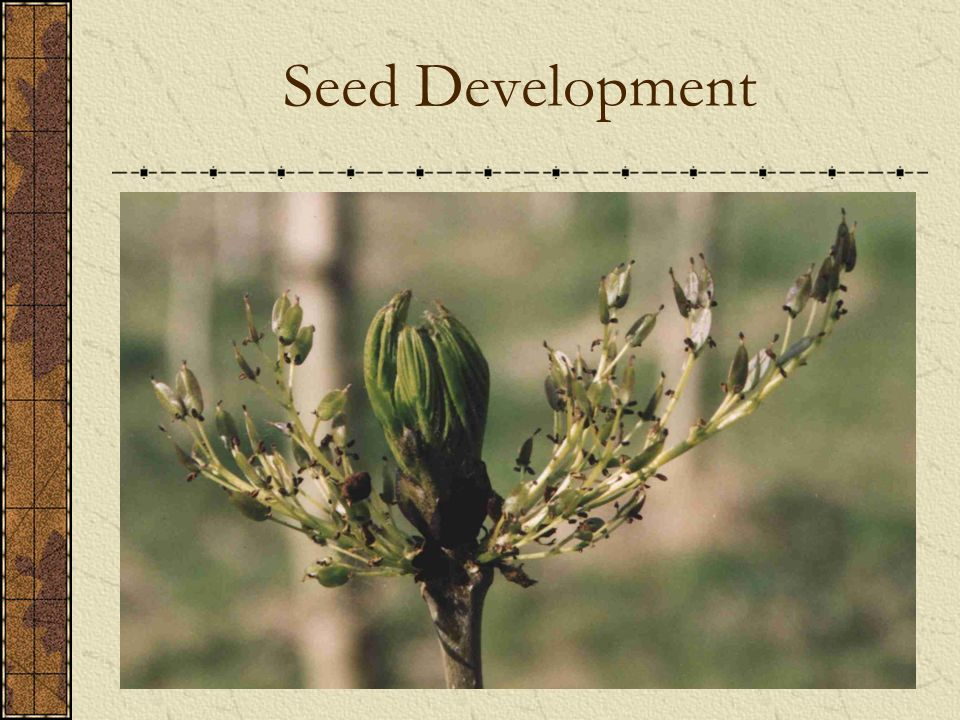 Seed Development