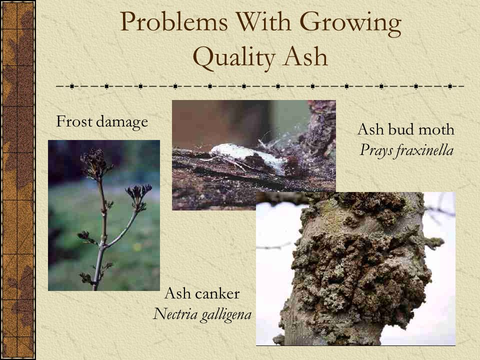 Problems With Growing Quality Ash Ash bud moth Prays fraxinella Ash canker Nectria galligena Frost damage