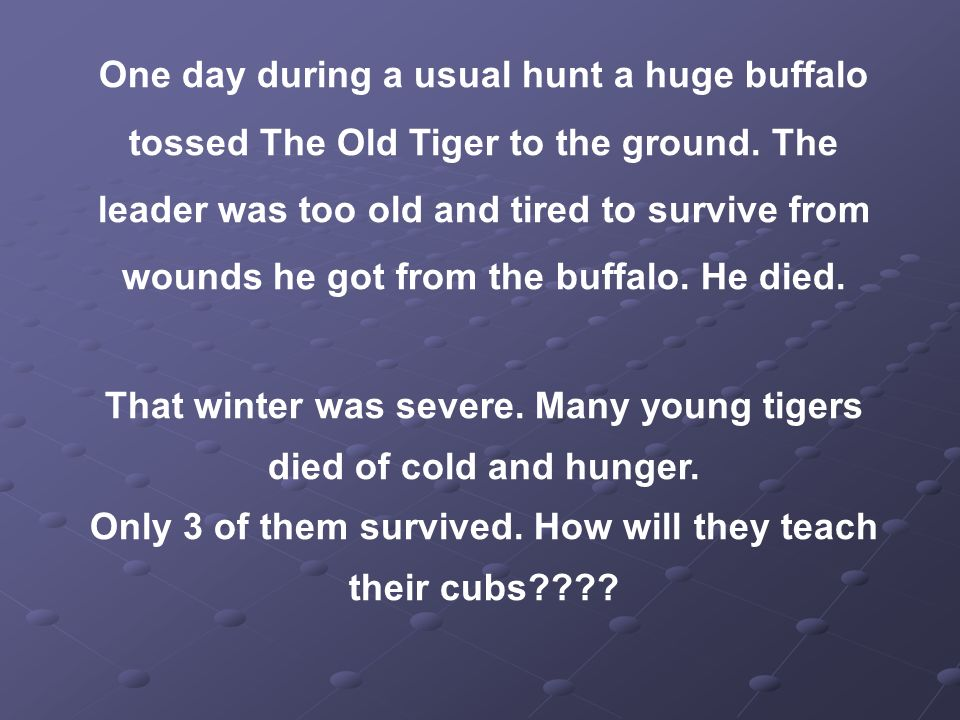 One day during a usual hunt a huge buffalo tossed The Old Tiger to the ground.