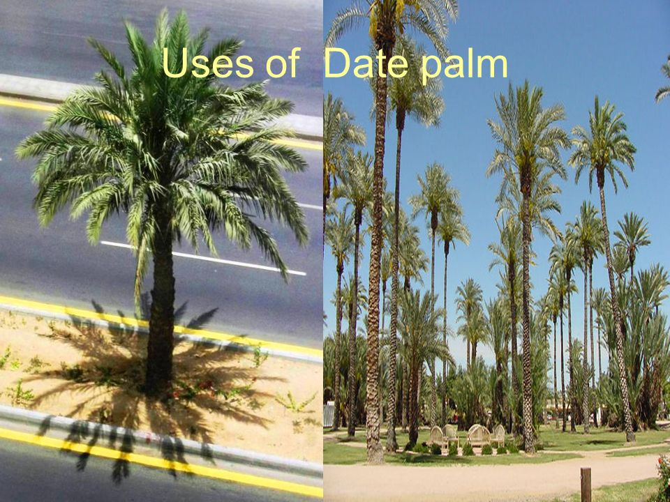 Why??? In the hot, dry climate of the desert where there is hardly any rainfall and great difference between day and night temperatures, DATE PALM TRE