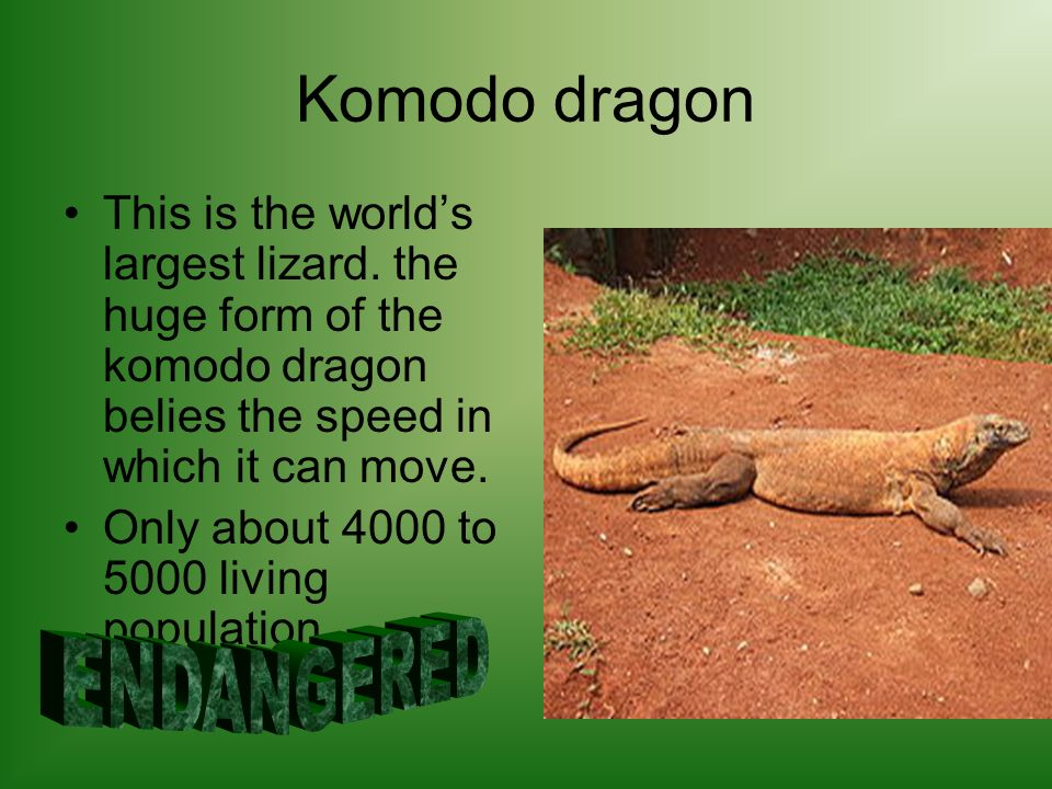 Komodo dragon This is the worlds largest lizard. the huge form of the komodo dragon belies the speed in which it can move. Only about 4000 to 5000 liv