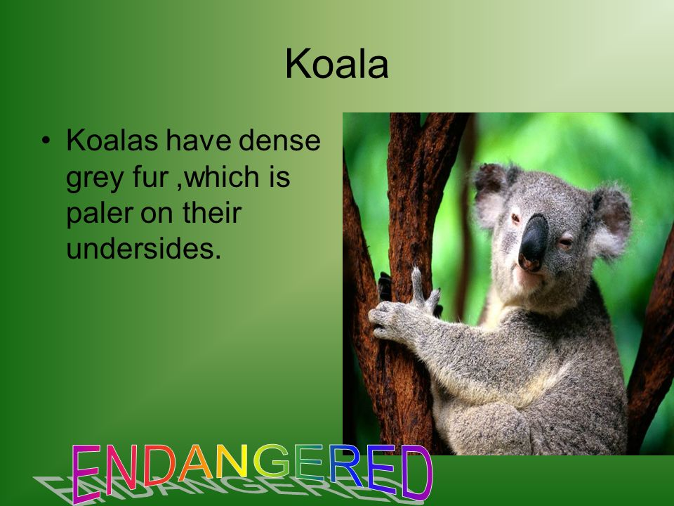 Koala Koalas have dense grey fur,which is paler on their undersides.