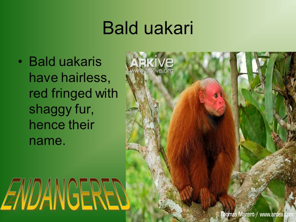 Bald uakari Bald uakaris have hairless, red fringed with shaggy fur, hence their name.