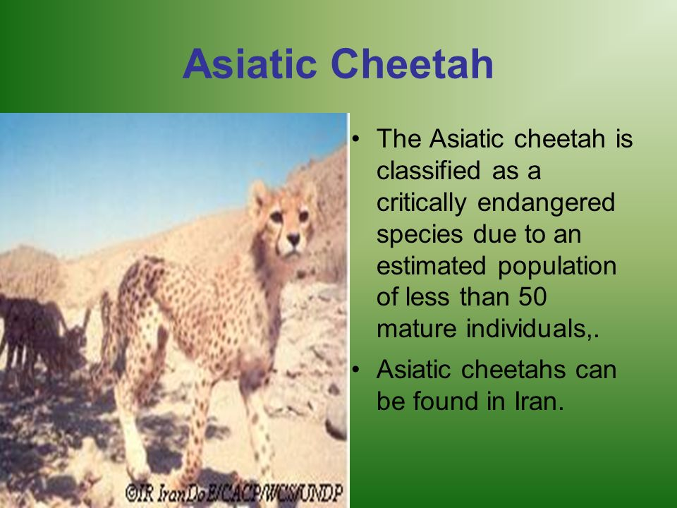 Asiatic Cheetah The Asiatic cheetah is classified as a critically endangered species due to an estimated population of less than 50 mature individuals
