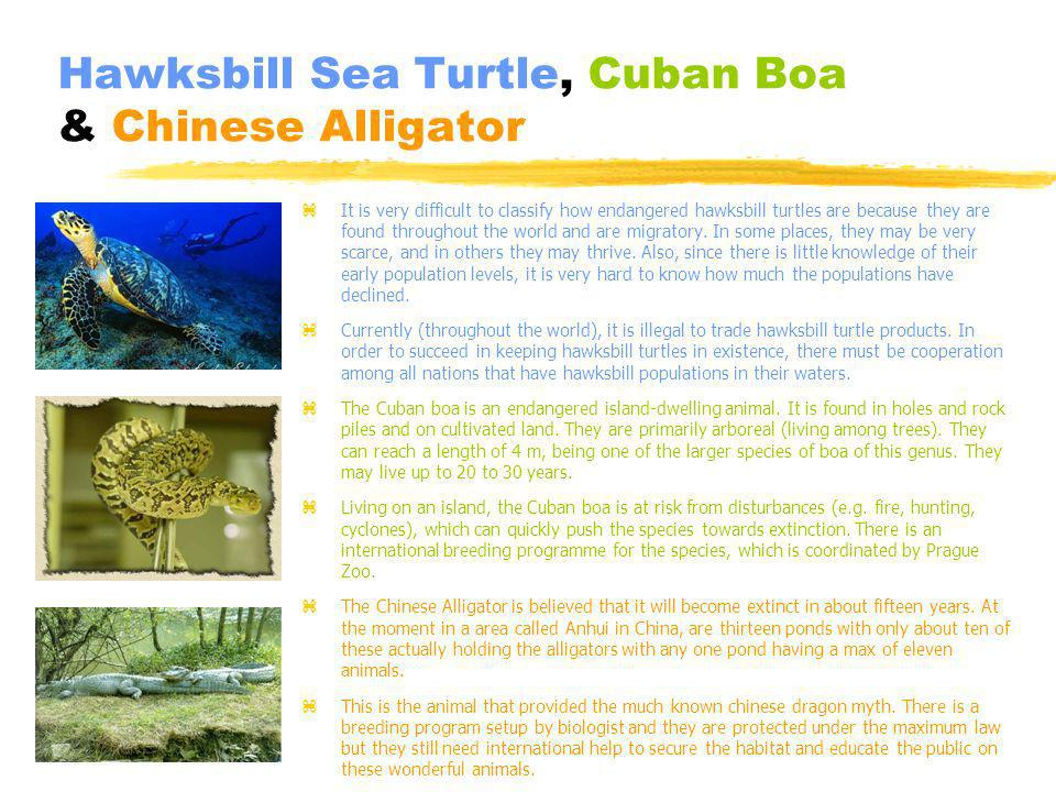 Hawksbill Sea Turtle, Cuban Boa & Chinese Alligator z It is very difficult to classify how endangered hawksbill turtles are because they are found throughout the world and are migratory.