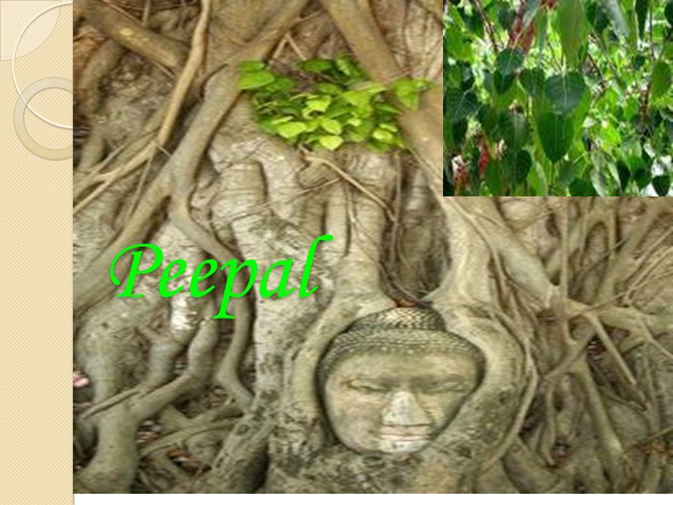 Peepal Tree: A Tree of Great Use Peepal Tree: A Tree of Great Use The peepal tree is used for a number of Ayurvedic medicinal purposes.